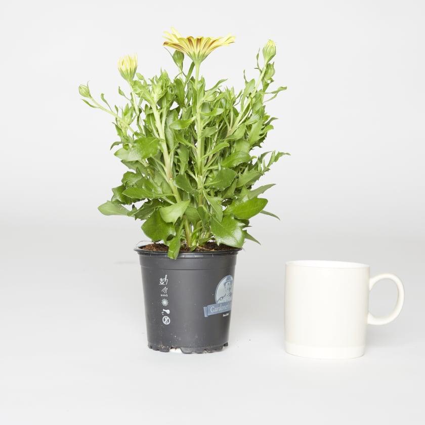 Osteospermum; African daisy