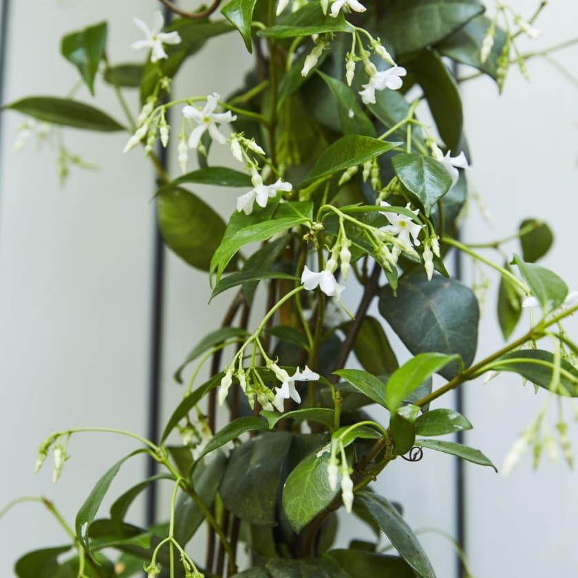 Climbing Jasmine — Plants