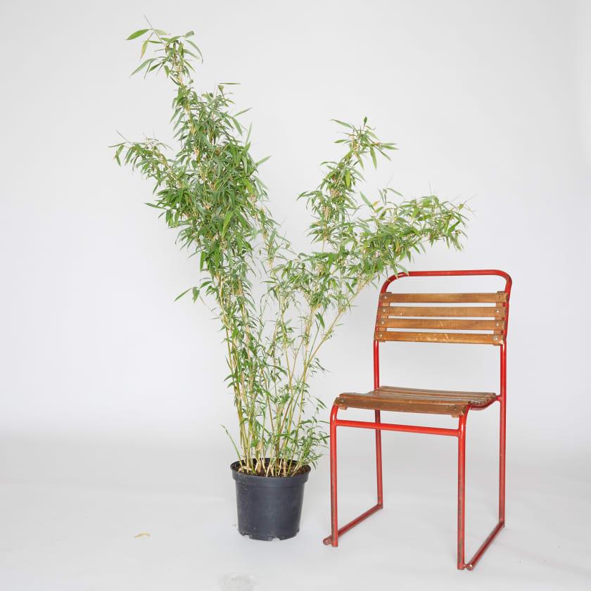 Umbrella Bamboo; Fargesia Murielae