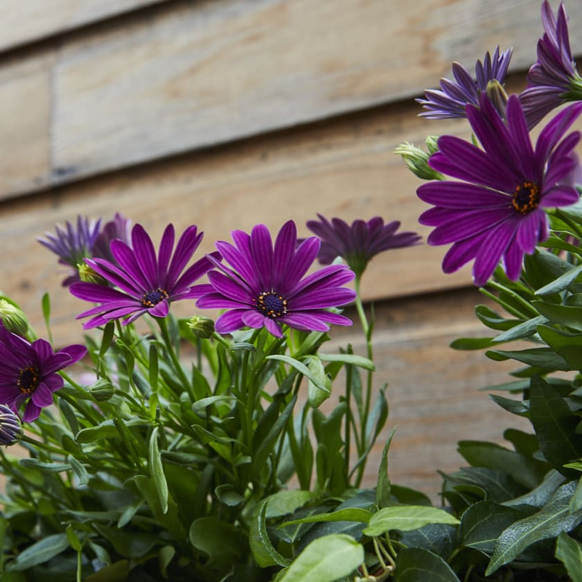Osteospermum — Plants