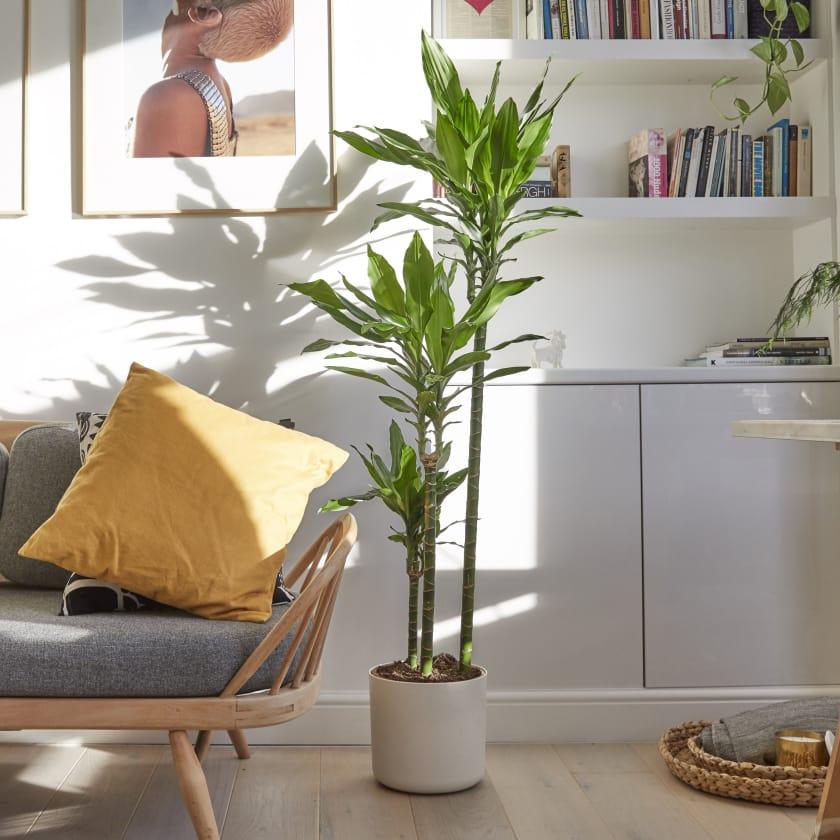 Dracaena Fragrans Plants Patch