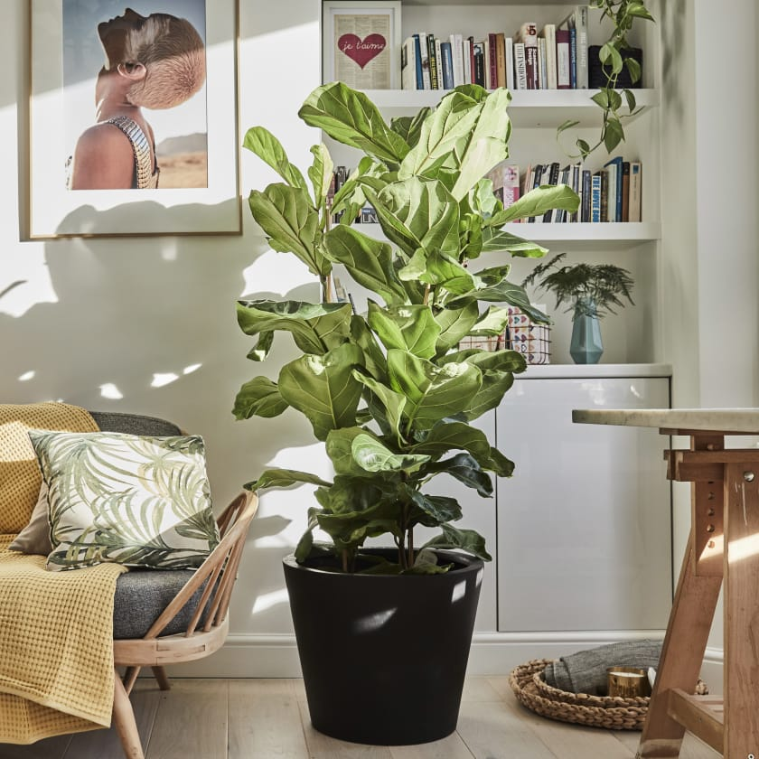 Ficus Lyrata Plants Patch