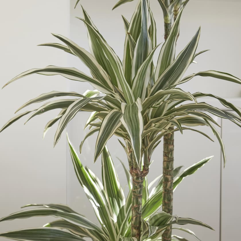 dracaena fragrans plants patch. Black Bedroom Furniture Sets. Home Design Ideas