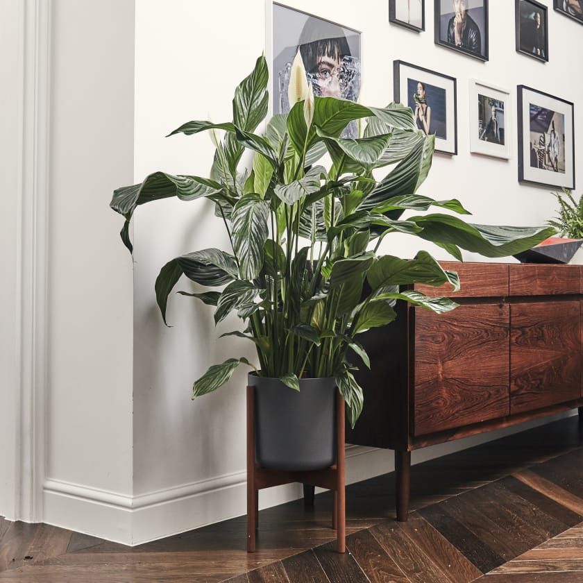 Peace Lily — Plants | Patch on lady palm plant outdoors, morning glory plant outdoors, dragon tree plant outdoors, croton plant outdoors, gardenia plant outdoors, wandering jew plant outdoors, ficus plant outdoors, aloe plant outdoors,