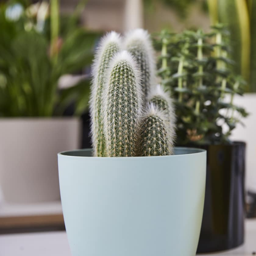 Image result for cactus plant,nari