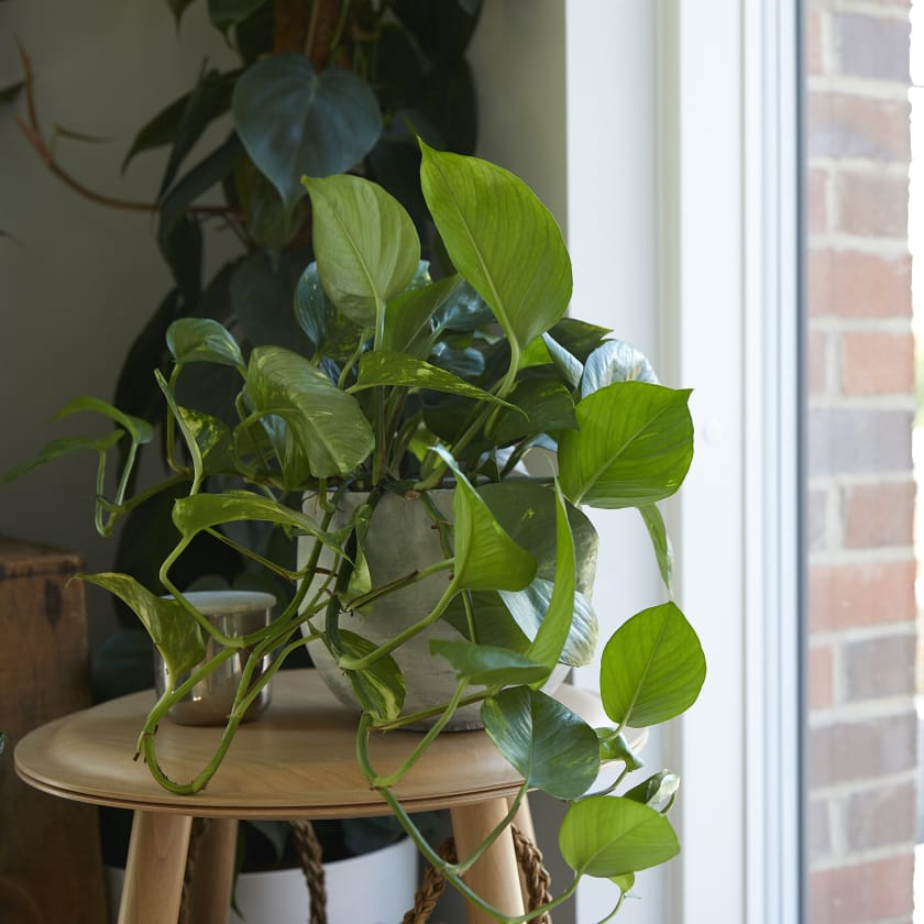 Golden Pothos Plants Patch