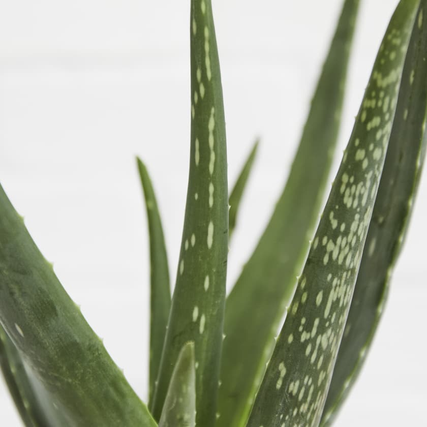 Aloe Vera Plants Patch