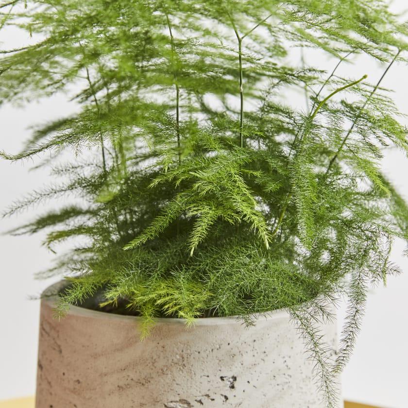 Asparagus Fern Setaceus Indoor Plants In London Patch