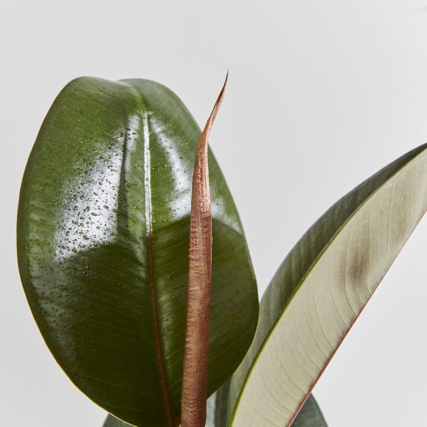 Rubber Plant — Plants