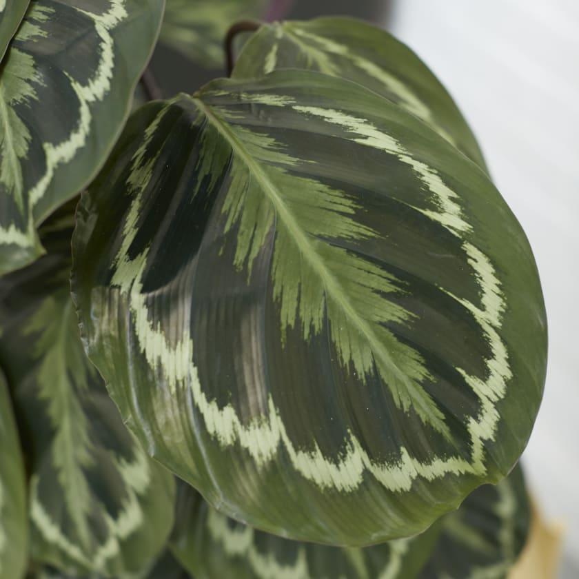 Calathea plant leaf