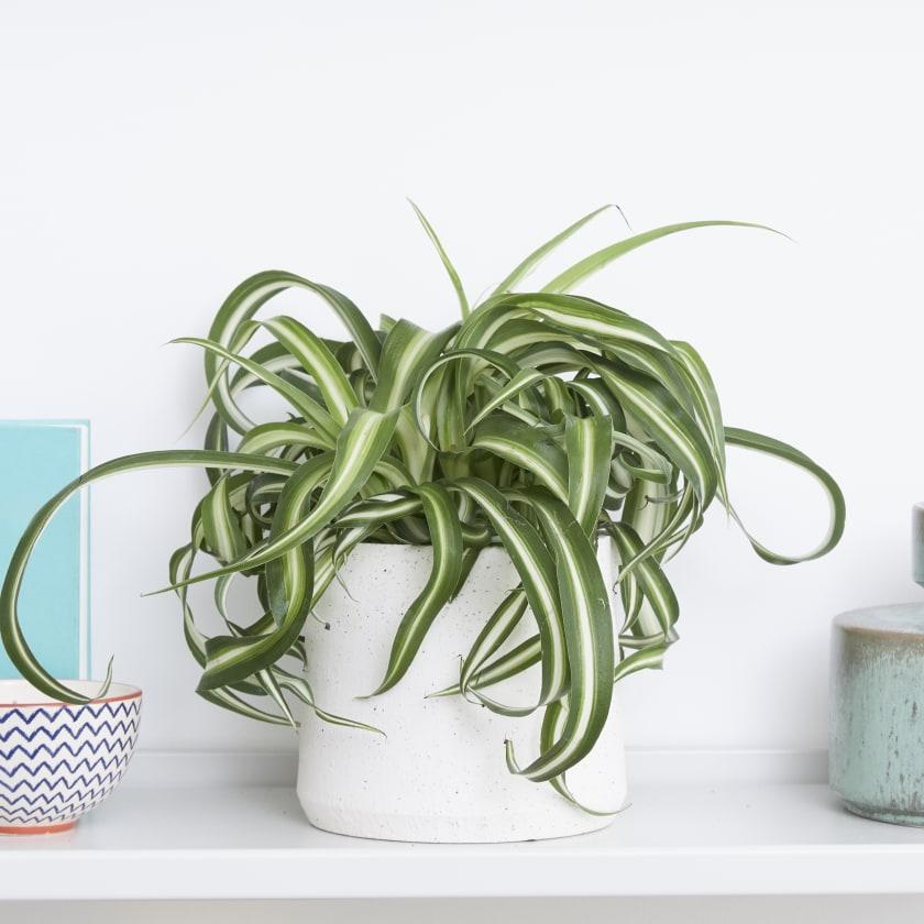 Curly Spider Plant Chlorophytum Indoor Plants In