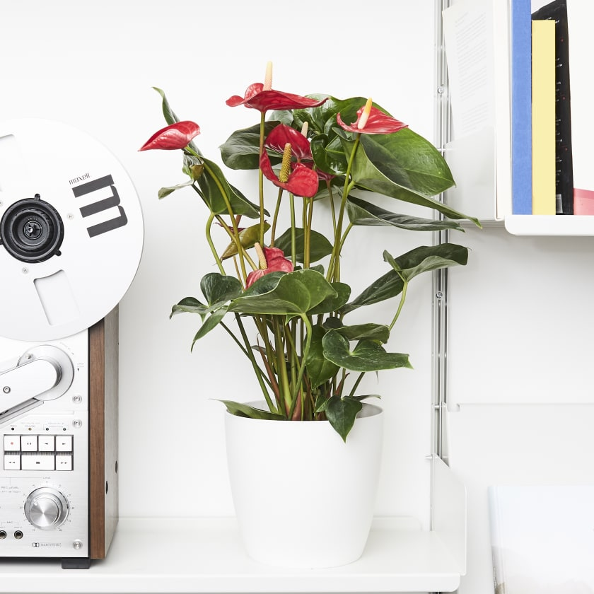 Flamingo Lily Best Air-Purifying Plants For Office with Low Effort Care