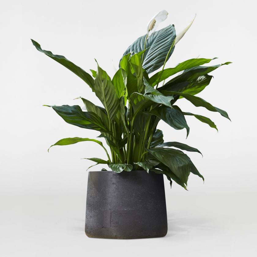 Peace Lily Medium