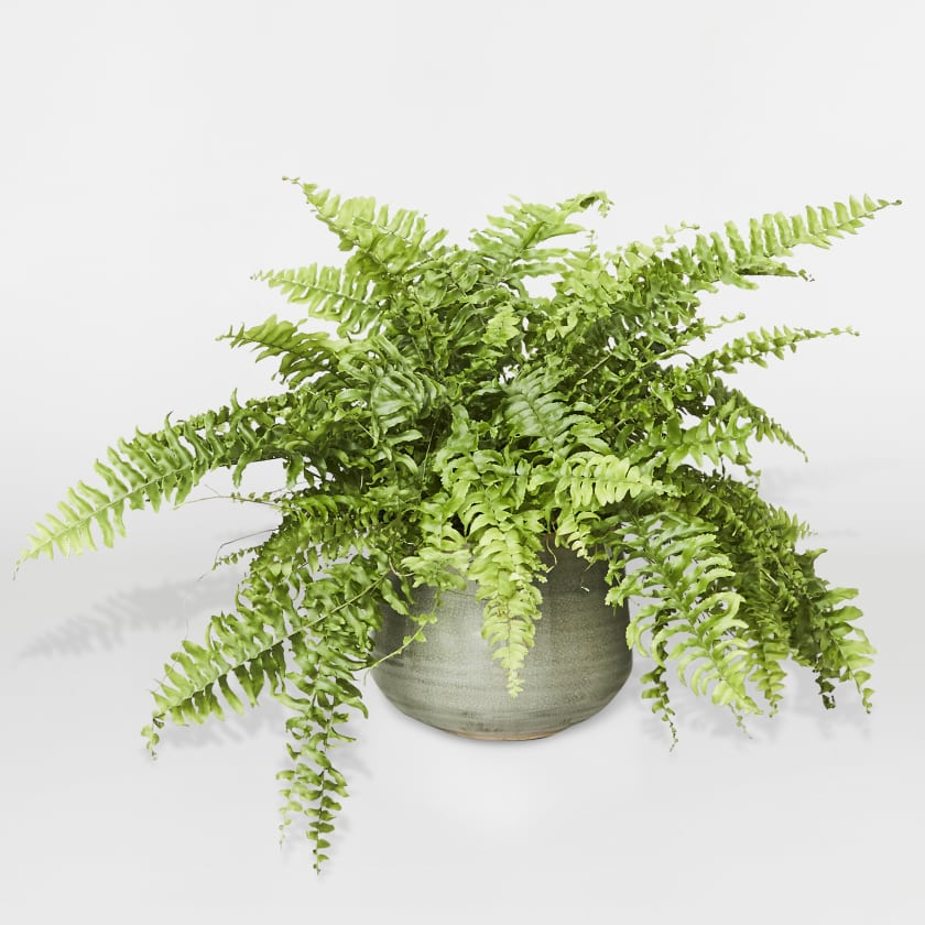 Boston Fern Medium