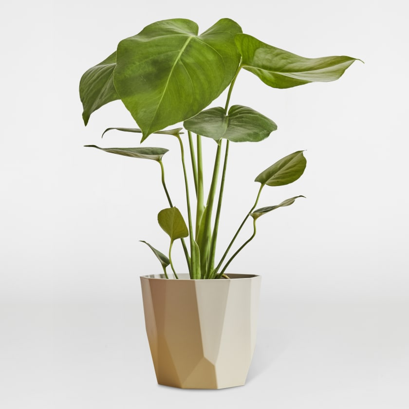 Small Monstera Deliciosa - Cheese plant