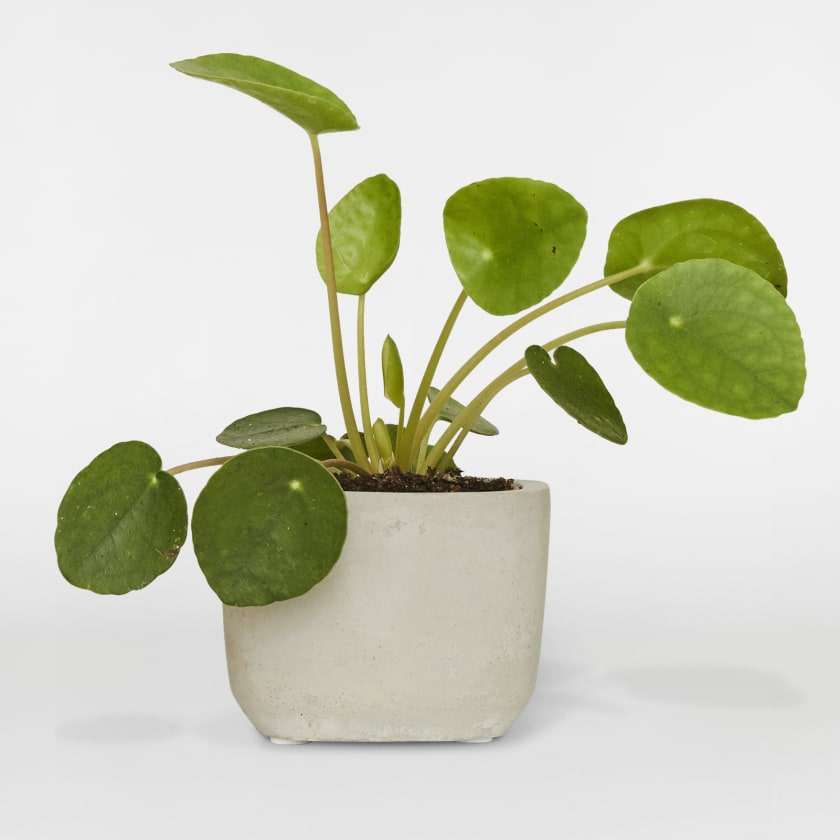 Small Chinese Money Plant