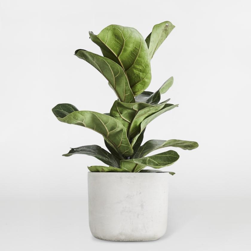 Ficus Lyrata Fidel Small