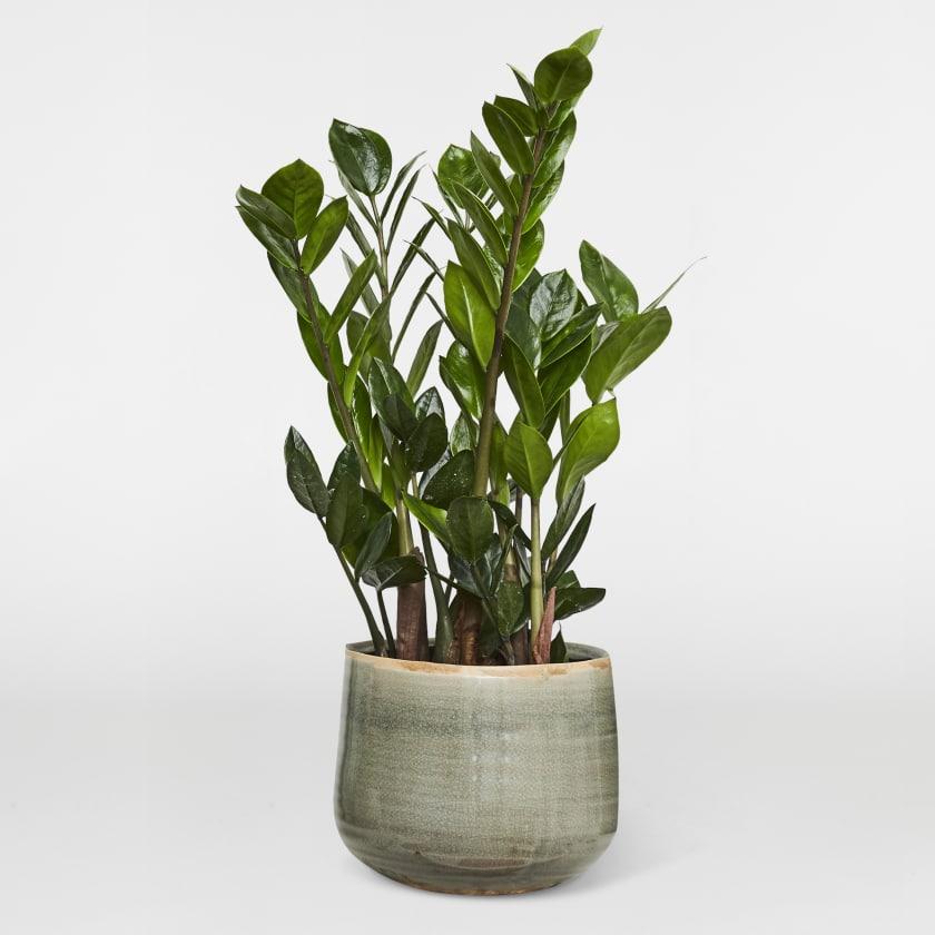 Zamioculcas ZZ plant