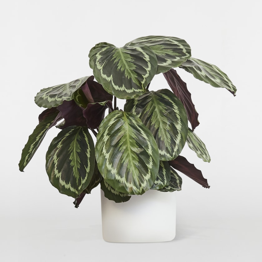 Calathea Prayer Plant Indoor Plants In London Patch