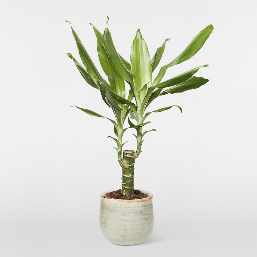 Small corn plant (dracaena fragrans)