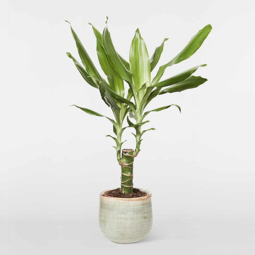 Small corn plant (dracaena fragrans)