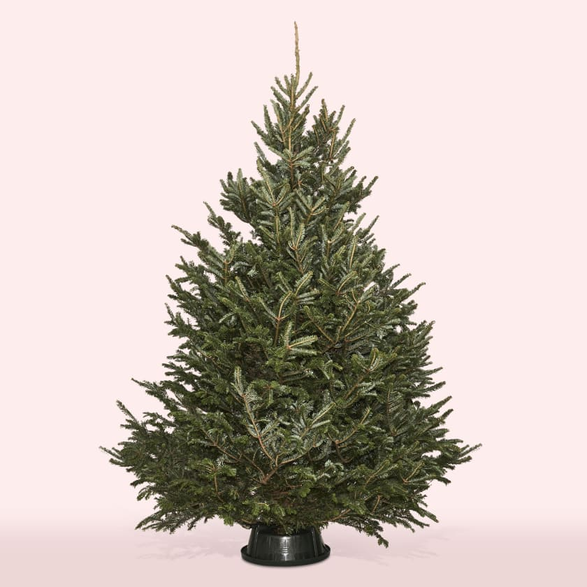 Christmas Tree 5-6ft Fraser Fir