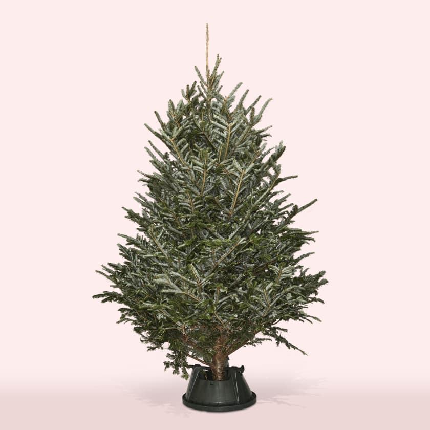 Christmas Tree 6-7ft Fraser Fir