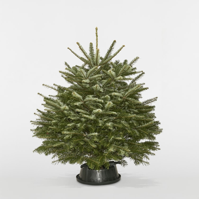 3-4ft Christmas Tree Nordmann Fir