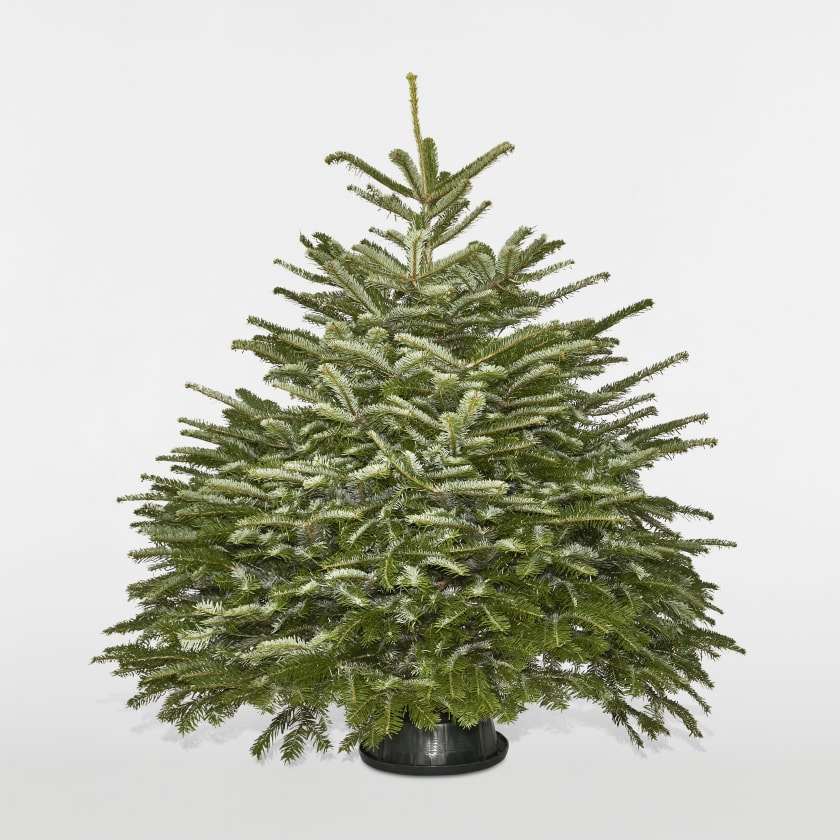 4-5ft Nordmann Fir Christmas Tree