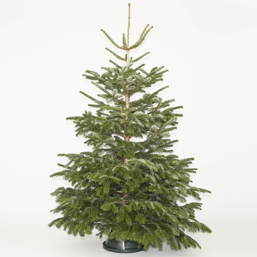 Nordmann Fir 6-7ft Real Christmas Tree