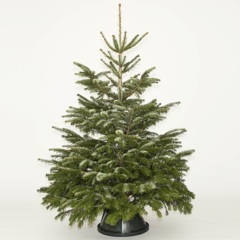 Nordmann Fir 5-6ft Real Christmas Tree