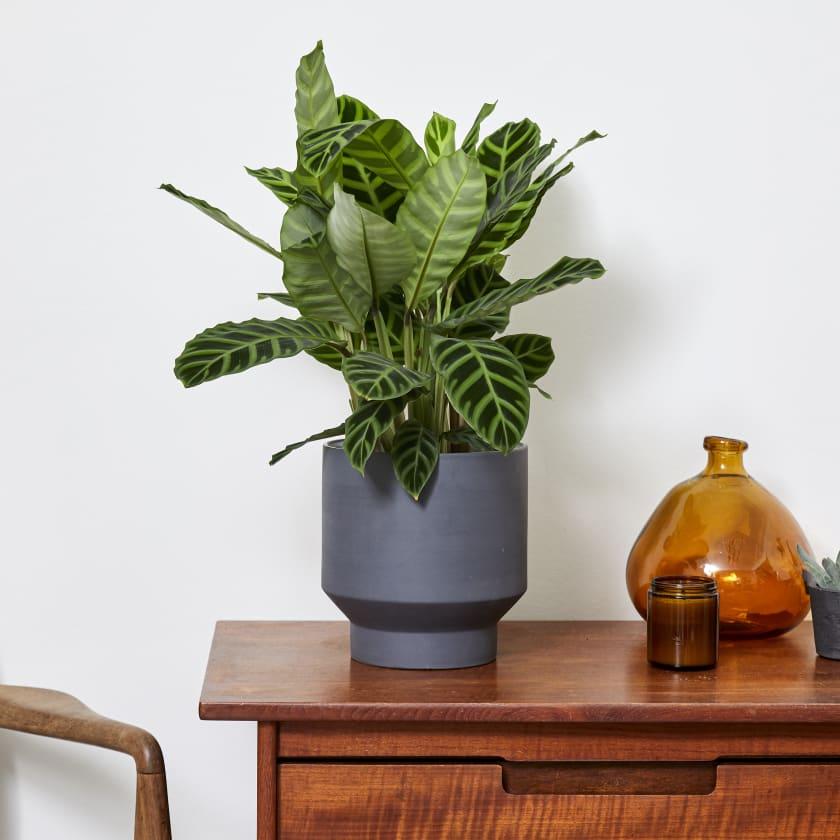 Calathea Zebrina | Zebra Plant | Indoor Plants in London | Patch