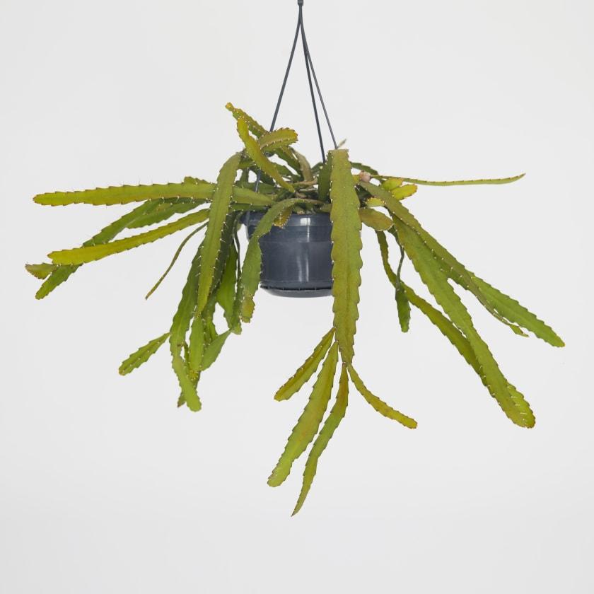 hanging cactus