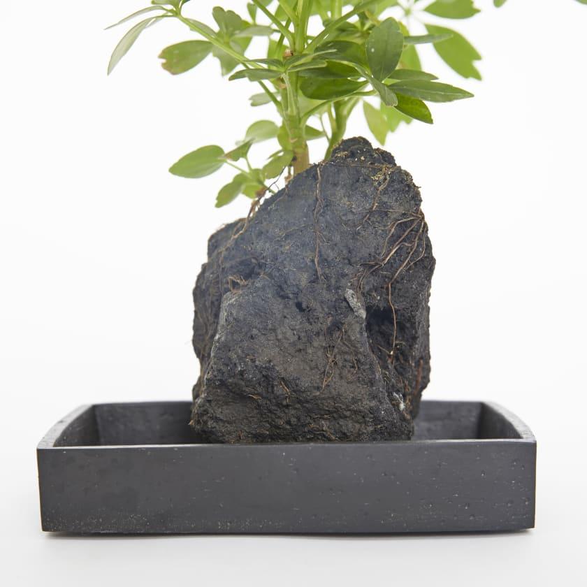 lava plant