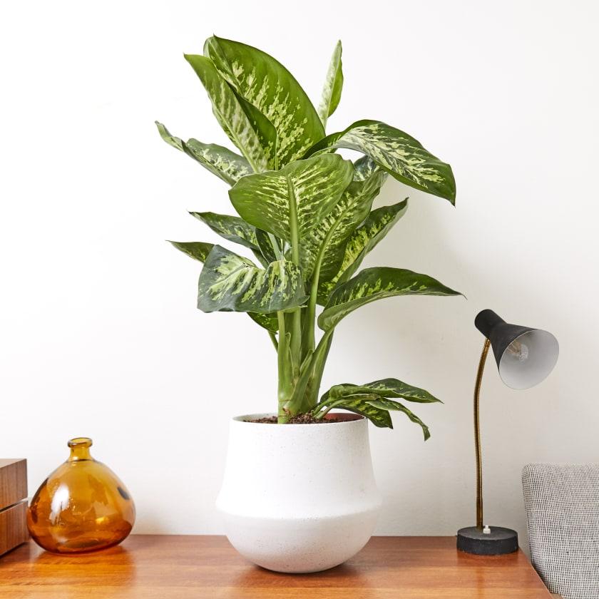 Dieffenbachia Seguine Tropic Snow | Indoor Plants in London | Indoor Plants  in London | Patch