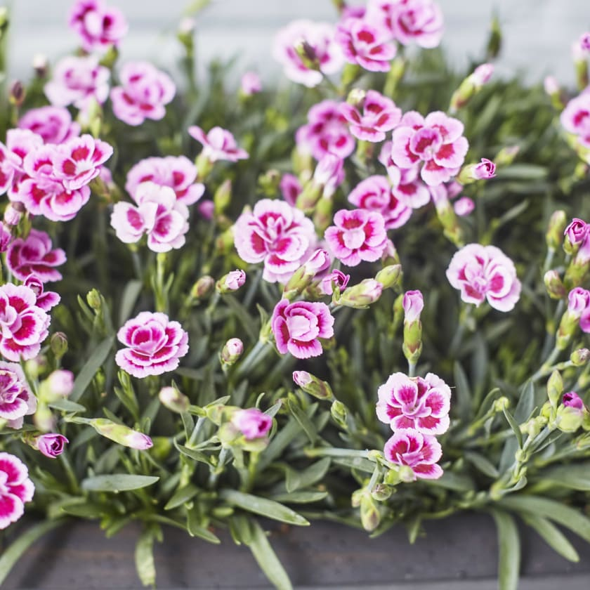 Dianthus pink kisses