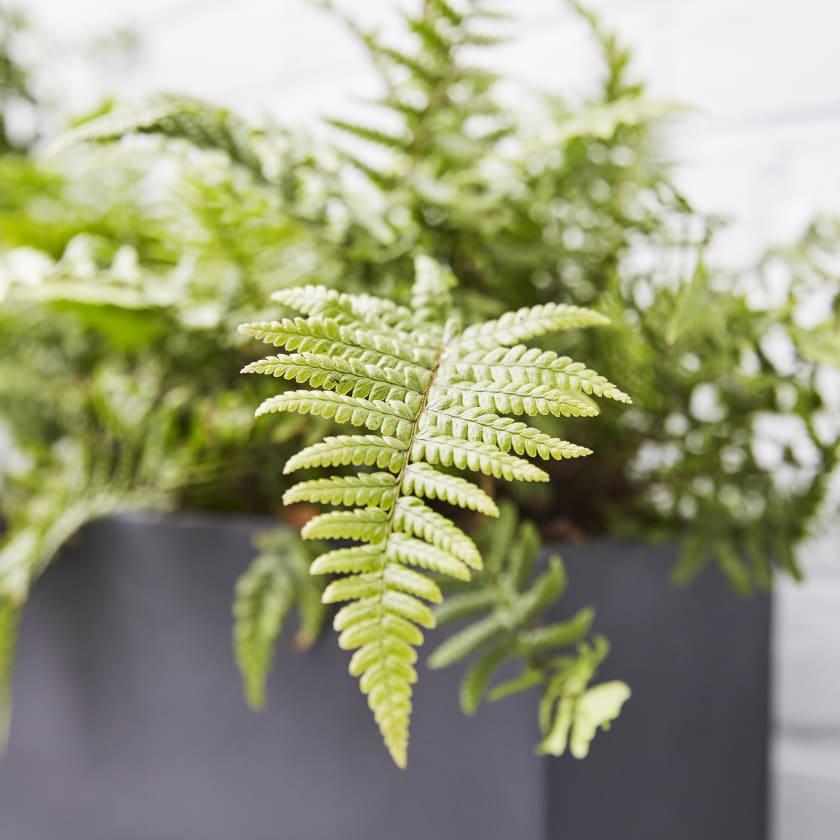dryopteris fern