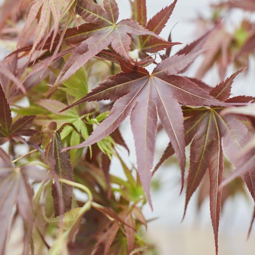 Acer Palmatum Plants Patch
