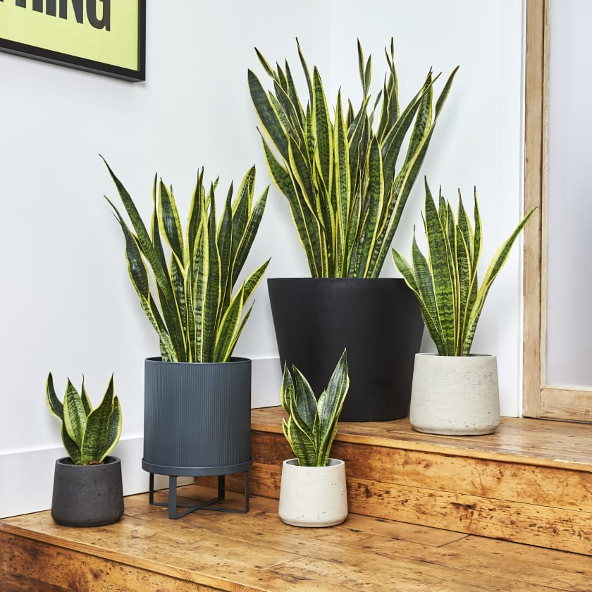 Snake Plant Sansevieria Kirkii Indoor Plants In London Patch