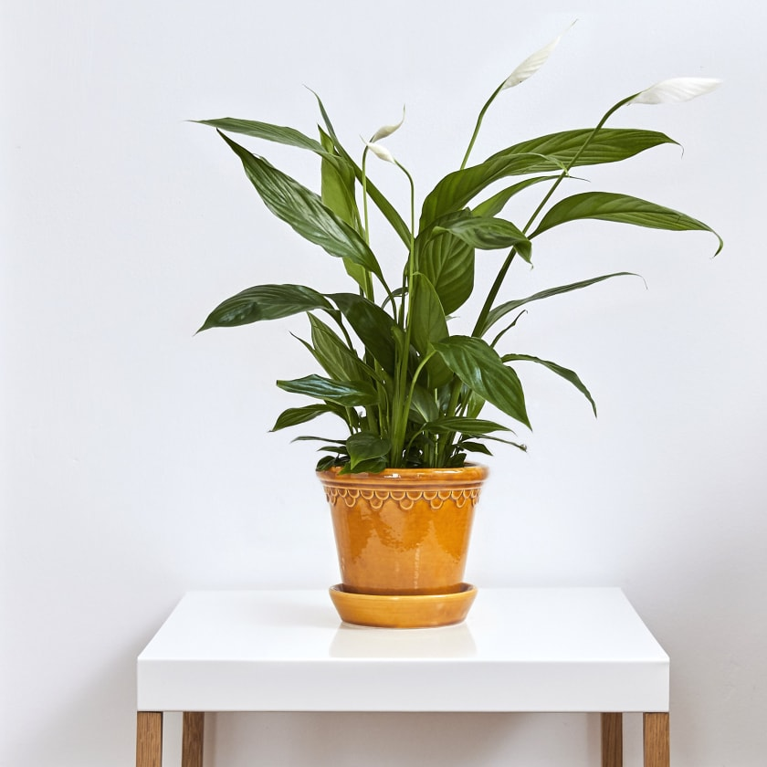 Peace Lily White Sails Indoor Plants In London Patch
