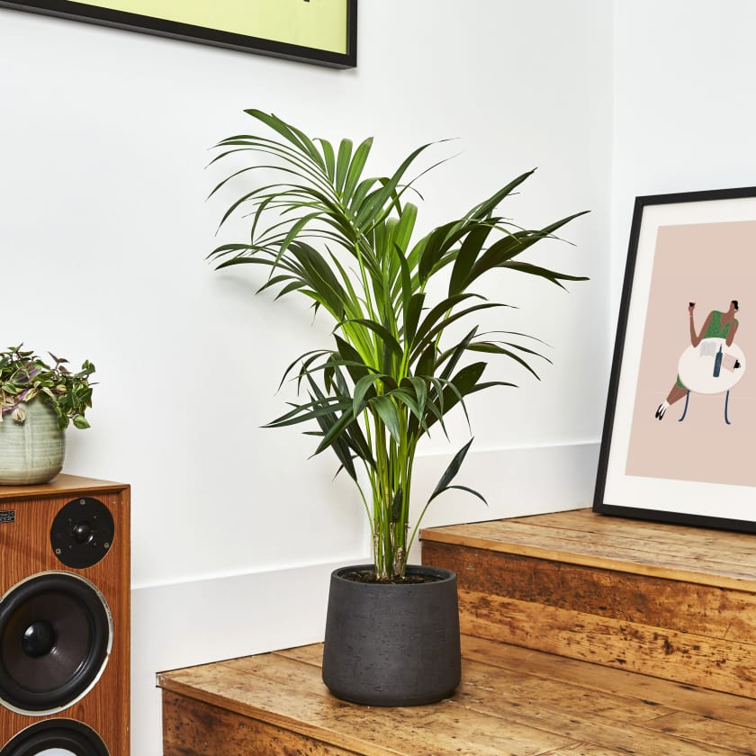 Kentia Palm Thatch Palm Indoor Plants In London Patch