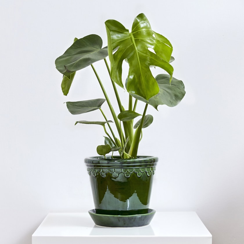 Swiss cheese plant on