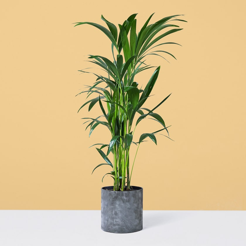 Kentia Palm 120-130cm Yellow Background