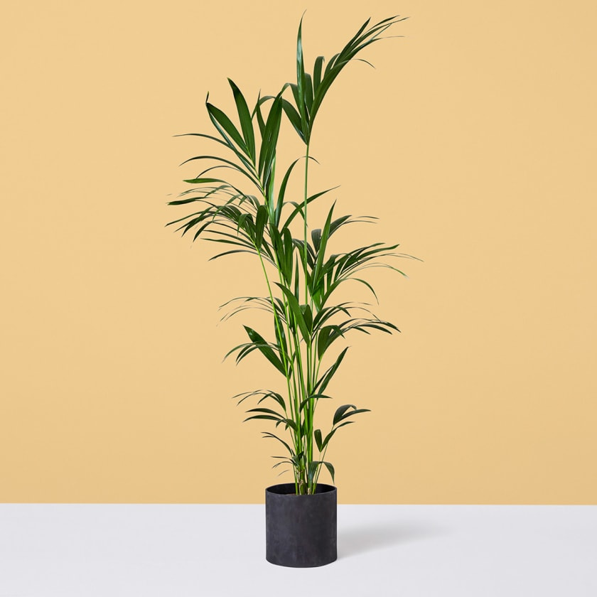 Kentia Palm 140-150cm Yellow Background