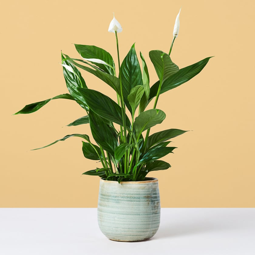 Peace Lilly 30-40cm Yellow Background