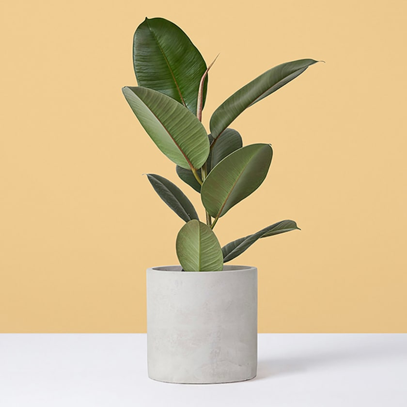 Small Rubber Plant Yellow Background