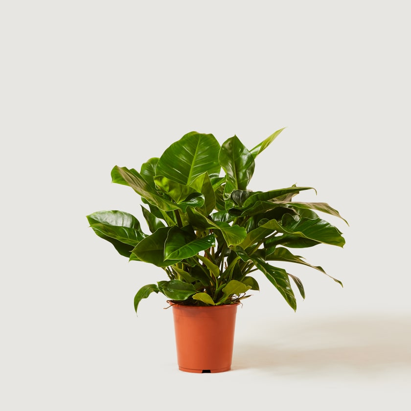 PHILODENDRON-GREEN-27