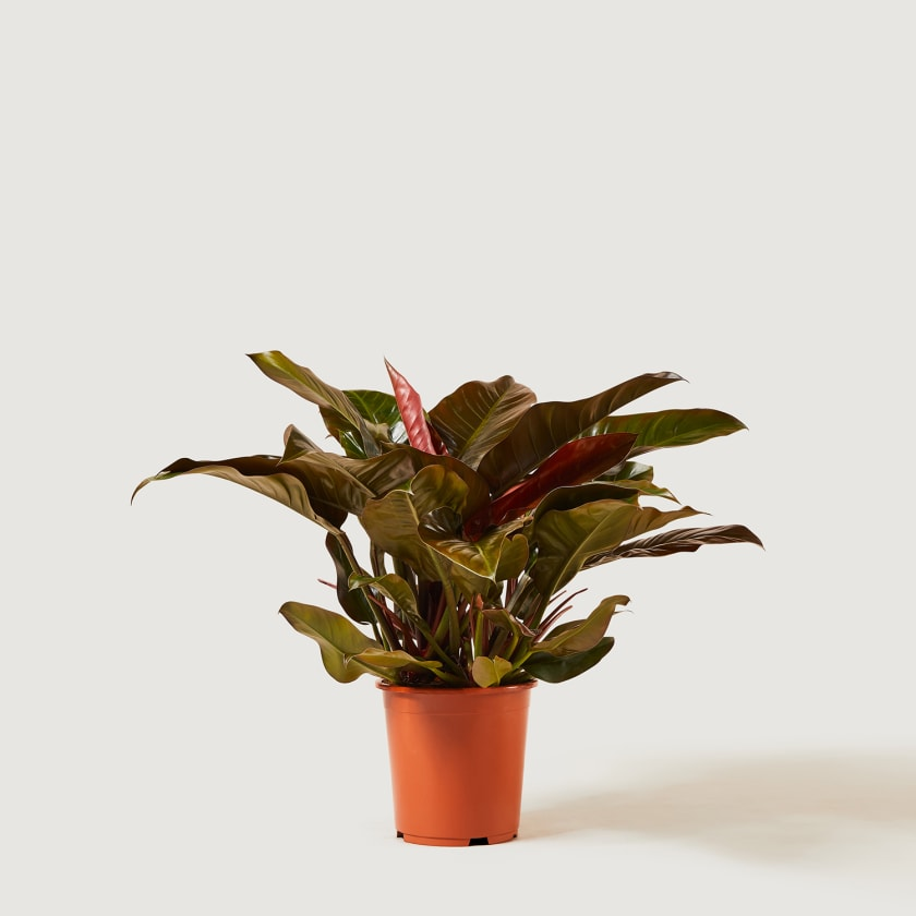 PHILODENDRON-RED-27
