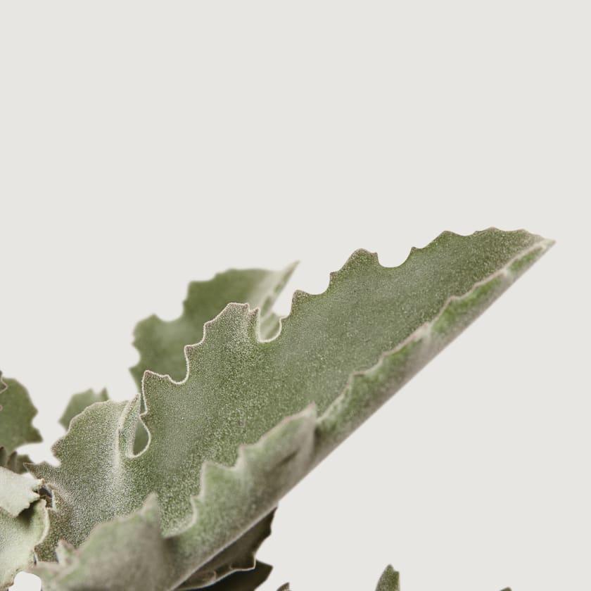 OAK-LEAF-PLANT-12