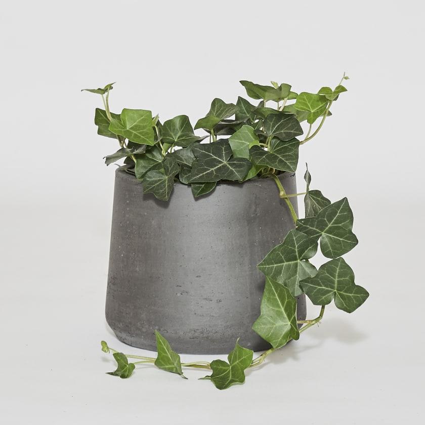 Hedera-ivy-13